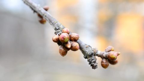 Ветка вишни с первыми весенними почками, необходимая для приготовления лечебного и профилактического средства.
