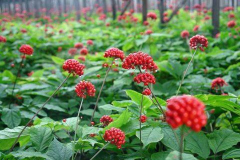 Женьшень — «эталон» иммуномодулирующих растений