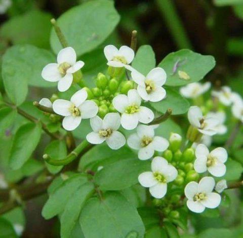 Жеруха лекарственная содержит все формы биодоступного йода и много витамина С