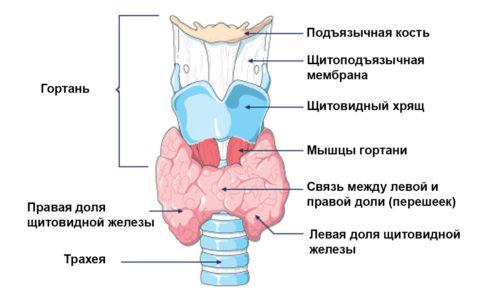 Анатомическое расположение щитовидной железы.