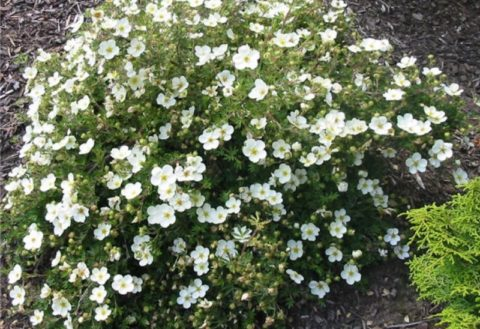 Для лечения щитовидки можно использовать корни, траву и цветы белой лапчатки.