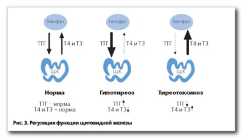 Гипотиреоз и тиреотоксикоз - отклонения в концентрации ТТГ и гормонов Т3 Т4 щитовидной железы.