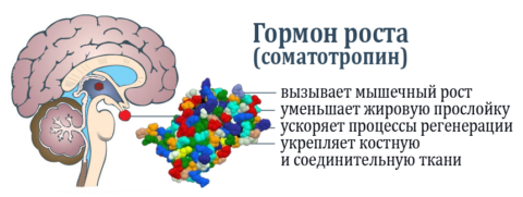 Гормон роста — сложный полипептид с непростыми задачами