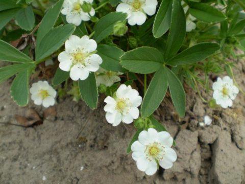Корневища лапчатки следует собирать только ранней весной и поздней осенью.