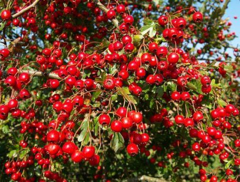 Красный боярышник (на фото) – эффективное и мягкое средство для лечения щитовидки.