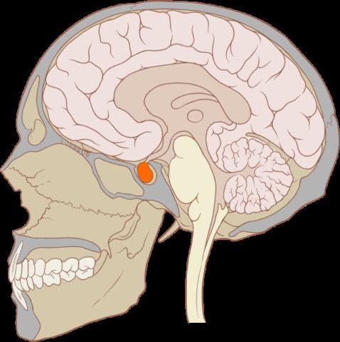 Место синтеза тиреотропина - гипофиз