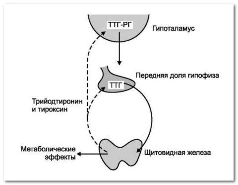 Многоступенчатый механизм нейрогуморальной регуляции