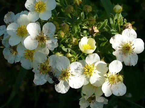 Полезные свойства белой лапчатки обусловлены богатым химическим составом растения.