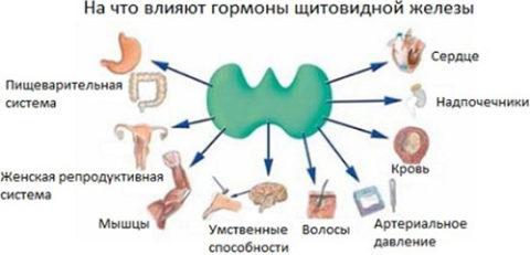 Правильная и слаженная работа нашего организма зависит от нормального функционирования щитовидной железы.