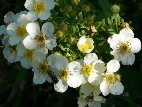 Растение может стать украшением приусадебного участка.