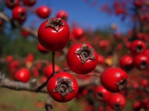 Рецепты на основе свежих плодов боярышника широко зарекомендовали себя в народной медицине при лечении эндокринных заболеваний.