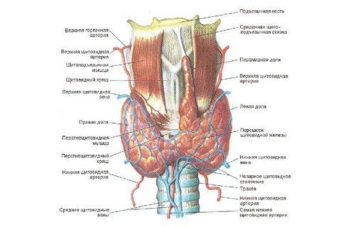 Щитовидку окружают другие органы и ткани шеи