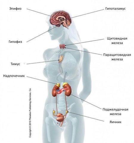 Щитовидная железа влияет на работу всей эндокринной системы.