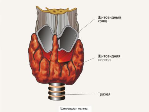 Схема строения щитовидной железы