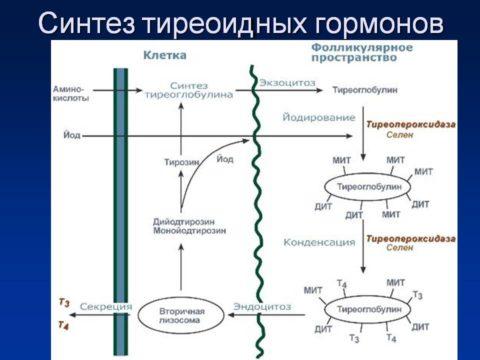 Синтез тиреоидных гормонов
