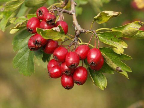 Свежие плоды боярышника имеют большое применение при лечении эндокринологии.