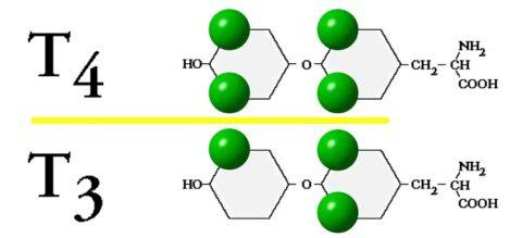 Т3 и Т4 – основные тиреоидные гормоны