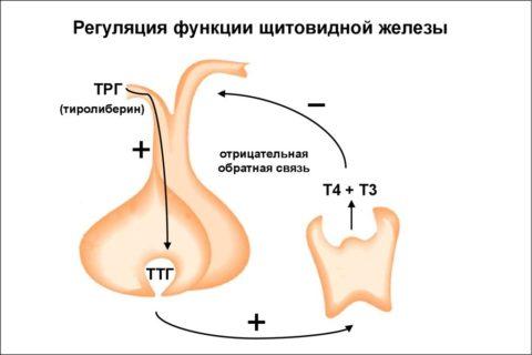 Влияние ТТГ и ТРГ на функционирование щитовидной железы.