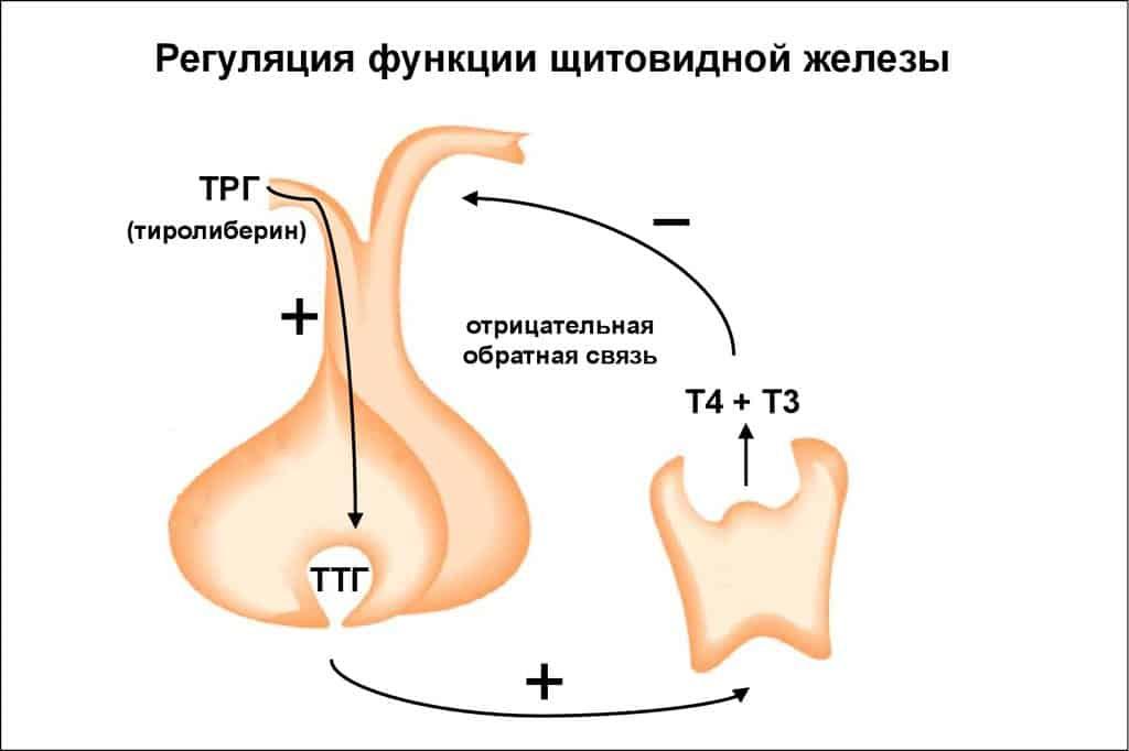 На что влияет щитовидная