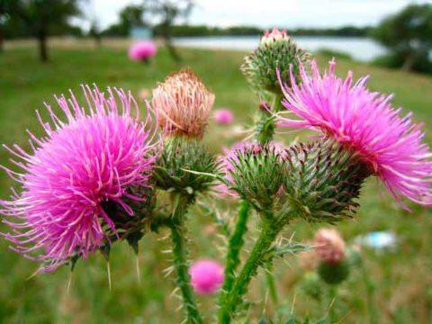 Все знают, как выглядит растение, но мало кому известны его полезные свойства при лечении заболеваний щитовидки.