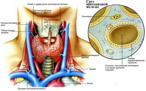 Анатомическое расположение и строение щитовидной железы.