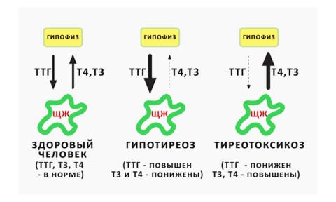 Изменения концентрации ТТГ говорят о сбоях в эндокринной системе