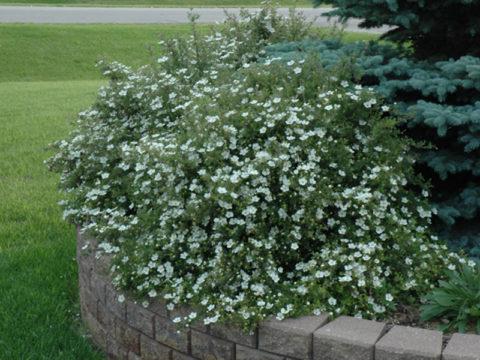 Лапчатка белая при гипотиреозе: целебные свойства растения
