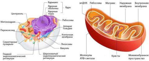 Регуляция работы митохондрий является одной из важнейших функций Т3