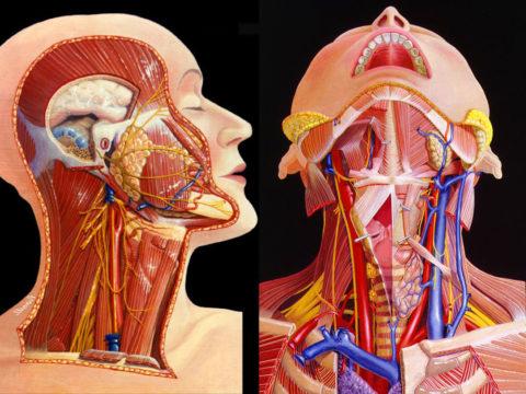 В области щитовидки находится много важных анатомических структур
