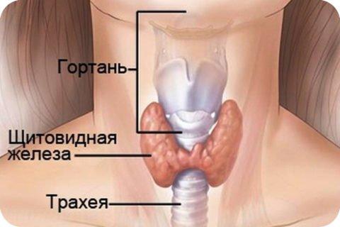 Локализация glandula thyreoidea
