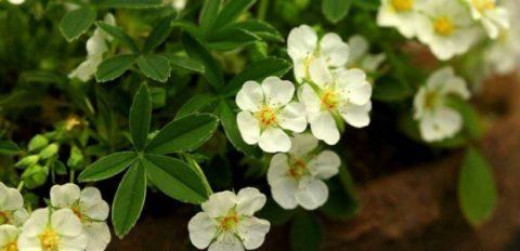 Лапчатка белая это одно из наиболее популярных в наши дни растений для лечения щитовидки