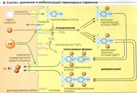 Анализ гормонов щитовидной железы и антител к ее тканям