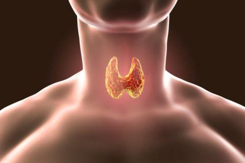 Где щитовидка находится, ее параметры и важность для человека