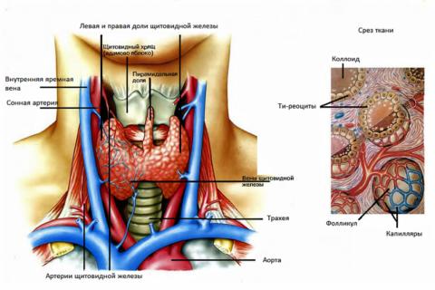 Строение и кровоснабжение щитовидной железы