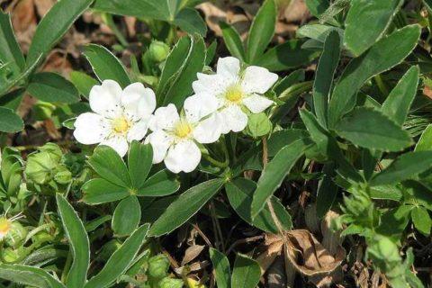 Фото цветков лапчатки белой. В это время нужно заготавливать сырье для лечения